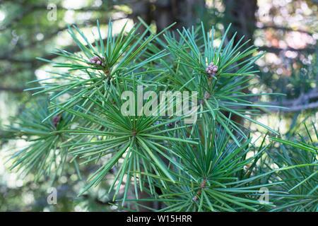 Sciadopitys verticillata 'Wintergreen' / Wintergreen Japanese Umbrella pine tree. - Stock Photo