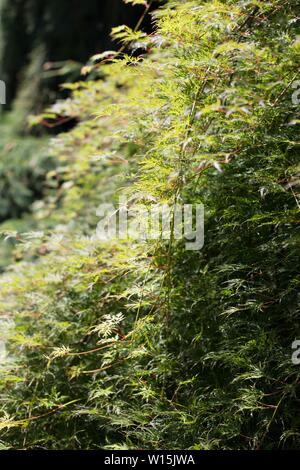 Acer Palmatum 'Emerald Lace' Japanese maple tree, close up. - Stock Photo