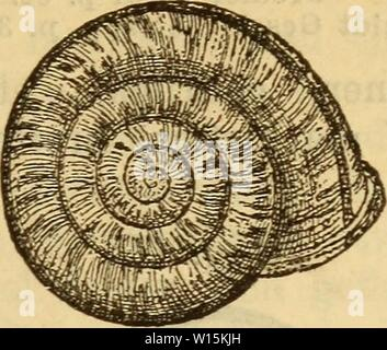 Archive image from page 162 of Die Mollusken-Fauna Mitteleuropa's (1884). Die Mollusken-Fauna Mitteleuropa's . diemolluskenfaun22cles Year: 1884  Fig. 67.    155 - Stock Photo