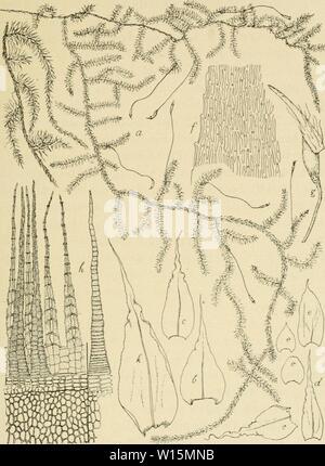 Archive image from page 166 of Die Musci der Flora von. - Stock Photo