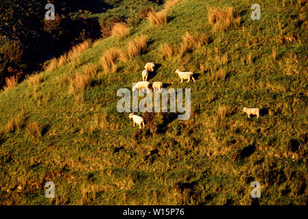 New Zealand, North Island. Aerial view of sheep grazing. Photo taken November 1989. Photo: © Simon Grosset. Archive: Image digitised from an original - Stock Photo