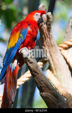 Red Parrot, Scarlet Macaw (Ara Macao) Bird - Stock Photo