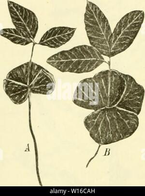 Archive image from page 251 of Die mutationstheorie Versuche und beobachtungen. - Stock Photo