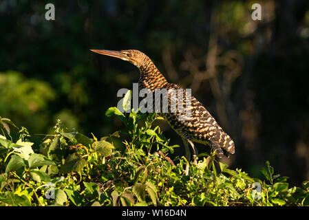 A juvenile Rufescent Tiger-Heron (Tigrisoma lineatum) from the Pantanal of Brazil - Stock Photo