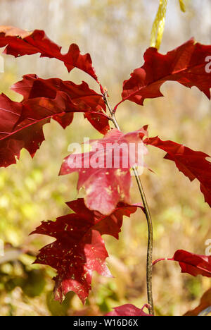 Close-up of oak tree sapling with red leaves in autumn in woods - Stock Photo