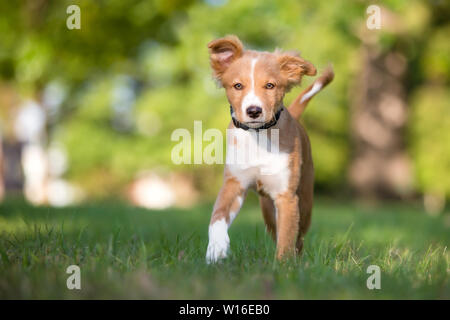 A cute red and white mixed breed puppy walking in the grass - Stock Photo