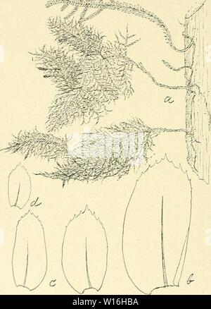 Archive image from page 289 of Die Musci der Flora von. - Stock Photo