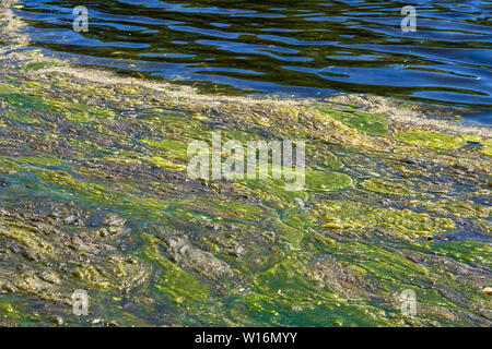 vibrant blue and green background of algae on the surface of a lake - Stock Photo