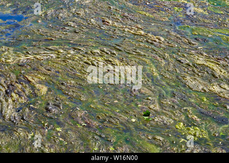 background of slimy bumpy globs of green algae on the surface of a lake - Stock Photo