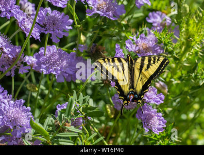 Butterfly, Western Tiger Swallowtail (Papilio rutulus) nectaring on purple Pincushion flowers (Scabiosa)