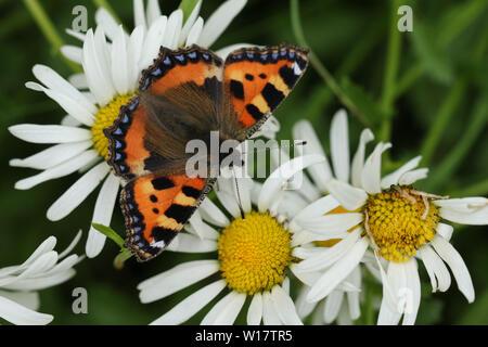 A pretty Small Tortoiseshell Butterfly, Aglais urticae, nectaring on a Dog Daisy flower.