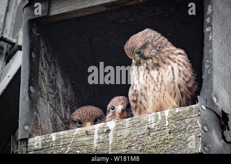 A female kestrel guards two of her young. Taken in a wooden nest box, two of the chicks are peering over the front - Stock Photo