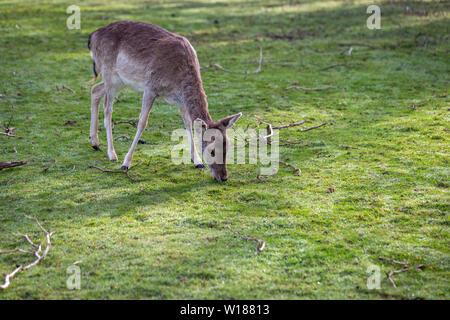 A young Fallow doe deer grazing on grass