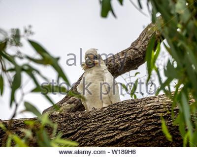 Corella in tree at Loxon, SA - Stock Photo