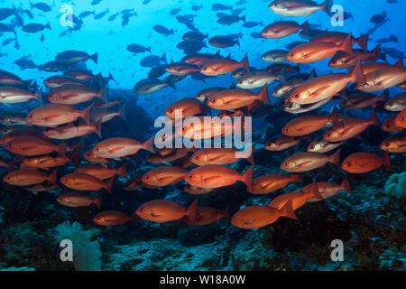 Shoal of Slender Pinjalo Snapper, Pinjalo lewisi, Tufi, Solomon Sea, Papua New Guinea - Stock Photo