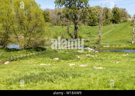 Sheep and lambs grazing the water meadows beside the Sherborne Brook near the Cotswold village of Sherborne, Gloucestershire UK - Stock Photo