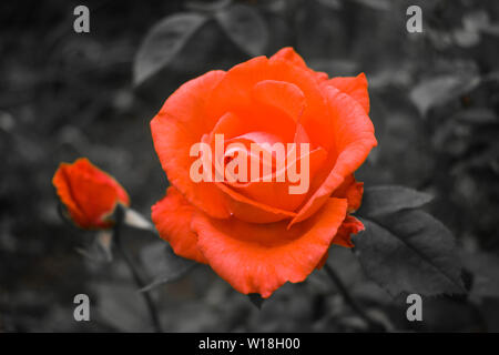 Orange rose close-up view in black and white background. Styled stock photo with selective color. All black and white except one color (orange) - Stock Photo
