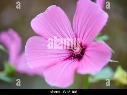 Pink blooming hollyhock mallow (Malva alcea) close-up - Stock Photo