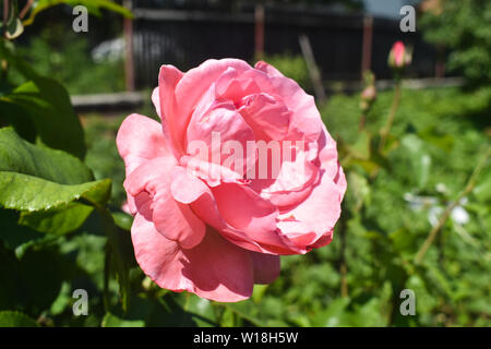 Close-up view of beautiful delicate pink rose in the green graden. Macro styled stock photo with amazing rose in green plants background. - Stock Photo