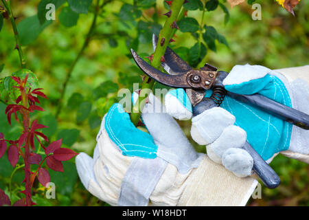Autumn pruning roses in the garden, gardener's hands with secateurs - Stock Photo