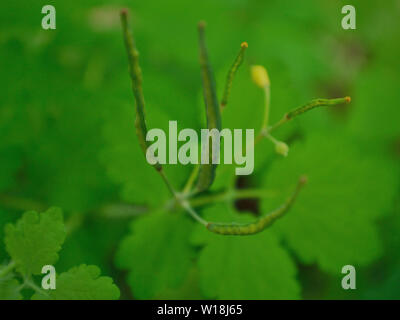 Greater celandine,Chelidonium majus, close up - Stock Photo