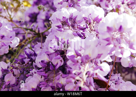 Blossoming wistaria branch in an orchard. Artistic nature wallpaper blurry background with purple flowers wisteria or glycine in springtime. - Stock Photo