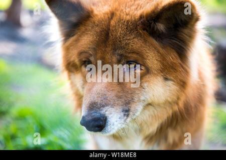 Macro photo of red wolf. Wild animals abstract photo. - Stock Photo