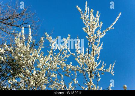The blossom of the black plum ,variety Friar (Prunus domestica) against a blue sky. - Stock Photo