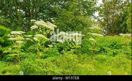 RIVER FINDHORN  SCOTLAND EARLY SUMMER A ROW OF THE FLOWERS AND STEMS OF THE GIANT HOGWEED Heracleum mantegazzianum - Stock Photo