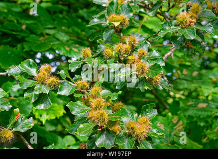 RIVER FINDHORN  SCOTLAND EARLY SUMMER BEECH NUTS OR MAST AND LEAVES OF THE BEECH TREE Fagus sylvatica - Stock Photo
