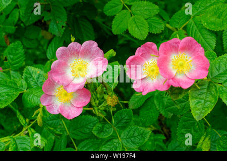 RIVER FINDHORN  SCOTLAND EARLY SUMMER DOG ROSE Rosa canina BUSH WITH FOUR PINK FLOWERS - Stock Photo