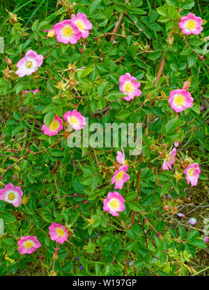 RIVER FINDHORN  SCOTLAND EARLY SUMMER DOG ROSE Rosa canina BUSH WITH PINK FLOWERS - Stock Photo
