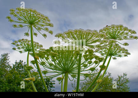 RIVER FINDHORN  SCOTLAND EARLY SUMMER FLOWERS OF THE GIANT HOGWEED Heracleum mantegazzianum AGAINST CLOUDS IN A SUMMER SKY - Stock Photo