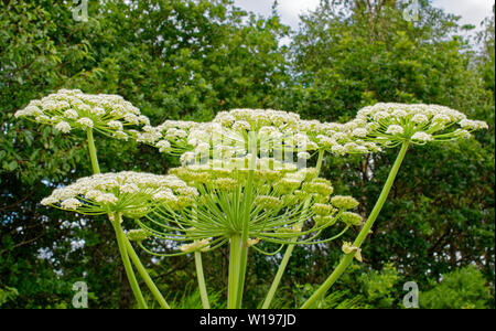 RIVER FINDHORN  SCOTLAND EARLY SUMMER FLOWERS OF THE GIANT HOGWEED Heracleum mantegazzianum - Stock Photo