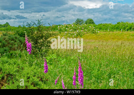 RIVER FINDHORN  SCOTLAND EARLY SUMMER FOXGLOVES Digitalis purpurea AND DOG ROSE Rosa canina BUSH WITH FLOWERS IN THE BACKGROUND - Stock Photo