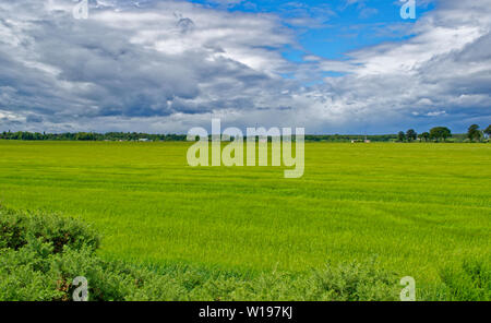 RIVER FINDHORN  SCOTLAND EARLY SUMMER GREEN BARLEY FIELDS GROWING ALONGSIDE THE RIVER - Stock Photo