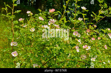 RIVER FINDHORN  SCOTLAND EARLY SUMMER PINK FLOWERS OF THE WILD DOG ROSE Rosa canina - Stock Photo