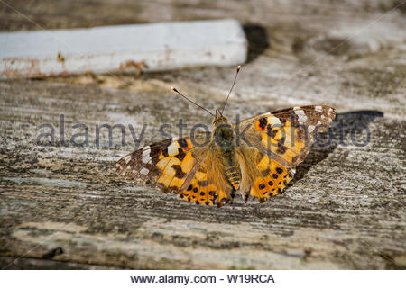 Closeup of a butterfly (the Painted lady, Vanessa cardui) sitting on an old wood surface outdoors. - Stock Photo