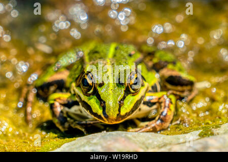 Rana esculenta-  common water frog sunbathing on a stone in a lake - Stock Photo