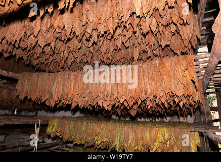 Drying shed full of tobacco leaves being dried in the rural village of San Juan y Martinez, Pinar del Rio Province, Cuba - Stock Photo