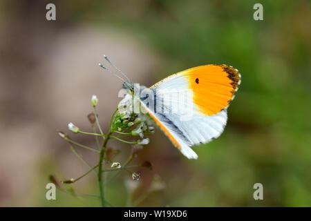orange tip, Aurorafalter, Anthocharis cardamines, hajnalpírlepke - Stock Photo