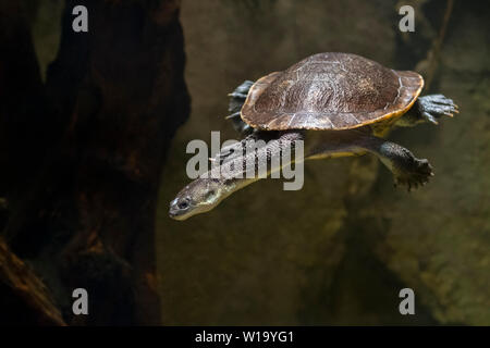 Roti Island snake-necked turtle / McCord's snakeneck turtle (Chelodina mccordi ) swimming underwater in pond, native to Rote Island in Indonesia - Stock Photo