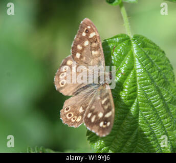 close up of speckled wood (Pararge aegeria), sitting on a leaf - Stock Photo