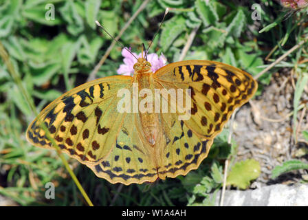 cardinal, Kardinal, Argynnis pandora - Stock Photo