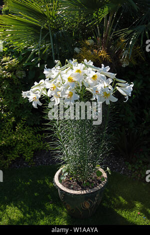 Heavily scented white lily, Lilium candidum 'Madonna lily' - Stock Photo