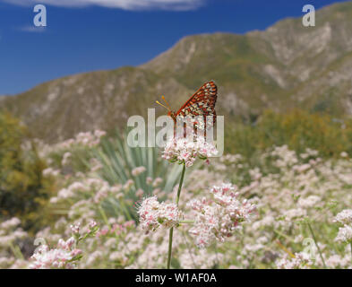 Image of a Variable Checkerspot (Euphydryas chalcedona) butterfly feeding on California Buckwheat flowers. - Stock Photo