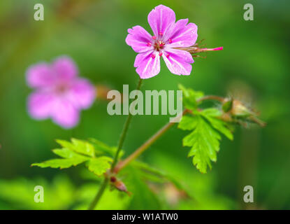 Beautiful purple wild forest flower. Geranium robertianum, or herb-Robert, red robin, death come quickly, storksbill, stinking Bob, squinter-pip, crow - Stock Photo