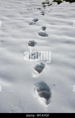 A set of grizzly bear tracks in the summer snow in rural Alberta Canada - Stock Photo