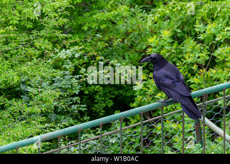 Black crow bird on green background. Black feathers. Black raven in wild nature - Stock Photo