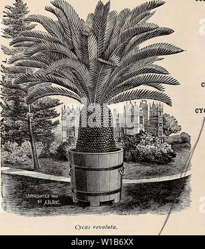 Archive image from page 33 of Descriptive and illustrated catalogue and. Descriptive and illustrated catalogue and manual of Royal Palm Nurseries . descriptiveillus1894roya Year: 1894  30 Reasoner Bros., Oneco, Florida.    Cycas revoluta. CHAMROPS, continued. one of the most hardy of Palms, and in Euro- pean catalogues is priced extremely high. 50 cents to li each. C. robusta. A sub-variety of C. humilis. 50 cents each. COCOS Alphonsii.  Known in South Florida as the ' Belair Palm,' from the immense specimens growing near Sanford. A choice, edible-fruit- ing, hardy Palm. $1 each. C. australis. - Stock Photo